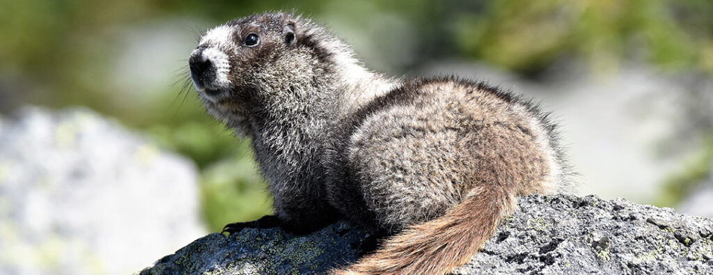 "Marmots are frequently seen by hikers and their ""whistle"" is how Whistler was named!"